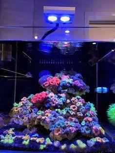 This unique cube is chalk-full of vibrant Ricordea mushrooms! Lit by Aqua Illumination (AI). Coral Reef Aquarium, Saltwater Aquarium Fish, Saltwater Tank, Marine Aquarium, Marine Fish Tanks, Marine Tank, Nano Reef Tank, Reef Tanks, Coral Reef Plants
