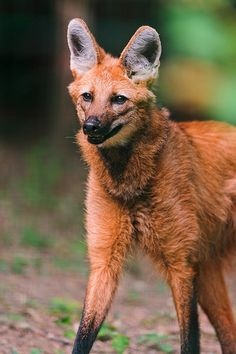 The maned wolf is the largest canid in South America. It is also the tallest wild canid in the world, its stilt-like legs a useful adaptation for spying prey over the tall grasslands where it lives. Despite its name, the maned wolf is not a wolf at all, nor is it a fox, coyote, or dog. It is the only member of the Chrysocyon genus, making it a truly unique animal, not closely related to any other living canid.