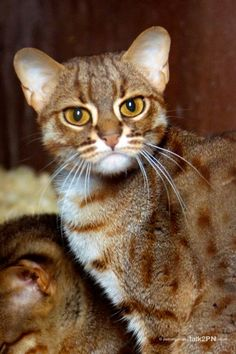 Rare Species Conservation Centre - Rusty-spotted cat