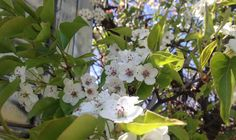 The flowering trees of NYC parks.