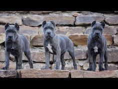 Cane Corso Puppies - How to raise Puppy - YouTube Italian Cane Corso, Cane Corso Italian Mastiff, Cane Corso Dog, Cane Corso Puppies, Cute Dogs Breeds, Dog Breeds, Cane Corso Breeders, Presa Canario, Dog Cages