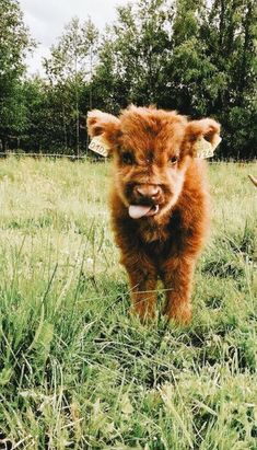 Tiere ballaststoffe tiere faser laststeppin tiere ballaststof cute animal pictures happy and funny pictures Cute Little Animals, Cute Funny Animals, Adorable Baby Animals, Funny Cats, Cute Animal Photos, Animal Pictures, High Pictures, Baby Highland Cow, Highland Cattle