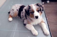 Australian sheppard- such a cute puppy! Love them, must have