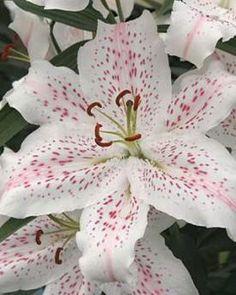 Extravaganza Bulbs | Daffodils Bulbs Extravaganza | Buy Daffodils Flower Bulbs Online | Bloms Bulbs UK An Award Winning Supplier