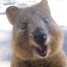 The worlds cutest animal.. The quokka ❤️                                                                                                                                                                                 More