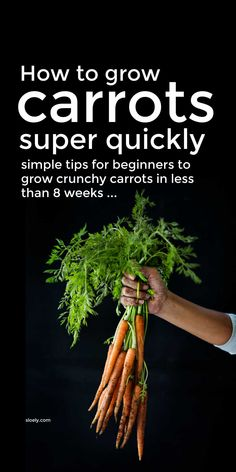 Learn how to grow carrots very quickly with these simple carrot growing tips for beginners that will help you grow carrots in as little as 8 weeks from seed and show you how to grow carrots in pots and containers. #growcarrots #howtogrowcarrots #carrotgrowing #growingcarrots
