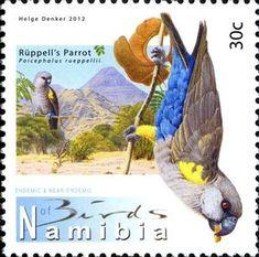 Rüppell's Parrot (Poicephalus rueppellii)