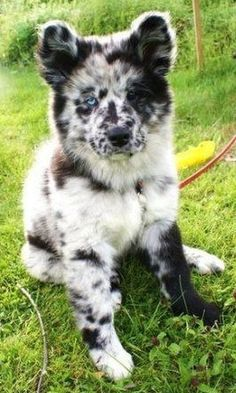 The Australian Shepherd Husky mix (also known as the Aussie Siberian) is not a purebred dog. It is a cross between the Australian Shepherd and the Siberian Husky. Baby Dogs, Pet Dogs, Doggies, Pet Pet, Rescue Dogs, Cute Baby Animals, Funny Animals, Funny Cats, Cute Puppies