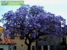 Princess Tree - Kiri - Paulownia tomentosa - fast growth, perfumed cascading flowers, tolerant of various soils, non-invasive roots, can be kept small in vases!