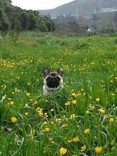 Frolicking pug