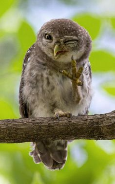 A wild owl appears to wink at the camera, Bangkok, Thailand. Funny Owls, Funny Birds, Cute Funny Animals, Cute Baby Animals, Animals And Pets, Owl Photos, Owl Pictures, Funny Animal Pictures, Beautiful Owl