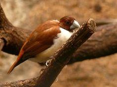 Five-coloured Munia , Bondol panca warna(Lonchura quinticolor), - endemic; - Passeriformes- Estrildidae