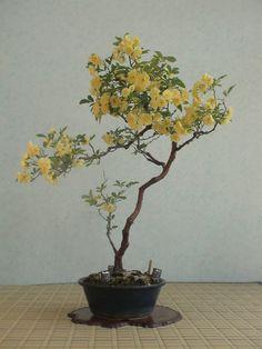 Terrarium Plants, Bonsai Plants, Japanese Indoor Plants, Ikebana, Buy Bonsai Tree, Bonsai Trees, Feng Shui Money Tree, Podocarpus Bonsai, Lucky Plant