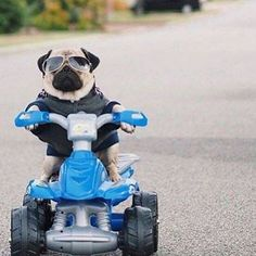 (disambiguation) The pug is a breed of dog. Pug or Pugs may also refer to: Funny Animal Pictures, Cute Funny Animals, Cute Baby Animals, Funny Dogs, Animals And Pets, Dog Pictures, Cute Pug Puppies, Cute Dogs, Doggies