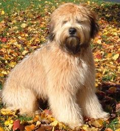An Irish breed of dog, the Soft-Coated Wheaten Terrier is originally a working farm dog.