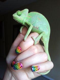 Lilly, juvenile female veiled chameleon.
