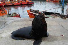 Lobo marino en el puerto de Mar del Plata. Argentina