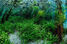 Dense underwater vegetation form beautiful underwater gardens on many rivers around Bonito, MS.