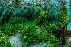 Dense underwater vegetation form beautiful underwater gardens on many rivers around Bonito, MS.