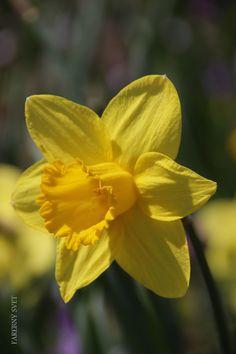 Žltý narcis