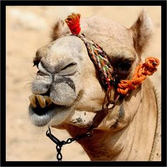 Camel with halter
