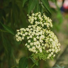 The western water #hemlock is a #poisonous plant in the family #Apiaceae that grows in wet places such as marshes stream banks slough margins ditches meadows and wet pastures.  The flowers on it are compound #umbellate #inflorescences with many small #white #flowers. There are two seeds for each flower.  The main distinguishable characteristic of western water hemlock is its #toxicity. #Cicutoxin is the toxin that is produced by the water hemlock. Cicutoxin is a yellowish liquid that is…