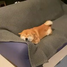 Cute Funny Dogs, Cute Cats And Dogs, Cute Dogs And Puppies, Baby Dogs, Cute Funny Animals, Shiba Inu Puppies, Pet Dogs, Shiba Inu Mix, Dog Cat