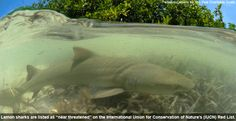 A new study provides the first direct evidence that female sharks commonly return to their birthplaces to reproduce - See more at: http://www.pewenvironment.org/news-room/other-resources/new-study-shows-that-sharks-often-return-home-to-give-birth-85899524374?sthash.5YvsoeDL.mjjo#!