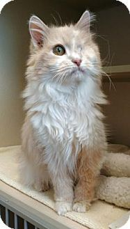 10/3 Do you have room in your heart for me? Domestic Shorthair Cat for adoption in Denver, Colorado - Bella