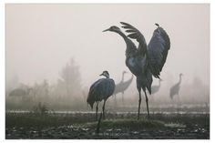 cranes at Ķemeri moorland, Latvia