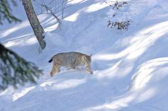 Le lynx (© Montagnes du Jura - Alain Prêtre)