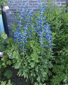 Baptisia Australis...zo mooi blauw!