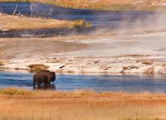 March 28, 2013: Yellowstone Bison, photo by Chasing Light Photography