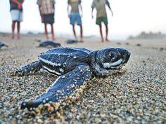 #Xcacel , una playa especial en la #RivieraMaya para la anidación de tortugas
