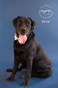 ●8•9•16 SL●Petango.com – Meet Brew, a 8 years 2 months Retriever, Labrador / Mix available for adoption in VISALIA, CA