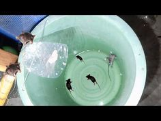 Awesome Quick Bucket Mouse Trap Using Bucket ,Plastic Bottle and Water.Best Mouse Trap That Work watching this bucket mouse trap video ,You can ma. Mouse Traps That Work, Best Mouse Trap, Water Pail, Water Bucket, Homemade Mouse Traps, Bucket Mouse Trap, Mouse Trap Board Game, Rat Traps, Hacks