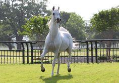 Shahir IASB (Salaa El Dine x Imperial Imphayana) 1993 grey SE stallion bred by Ariely-Ofer LTD - Strain: Dahman Shahwan - Sabah Line - Kamar Family