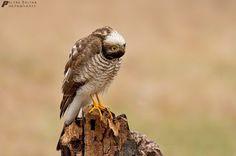 ??? Do not hunt today! These birds fly somehow;) Photo by Zoltán Pelyvás