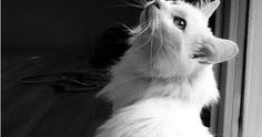Turkish Angora Cat History - Annie Many