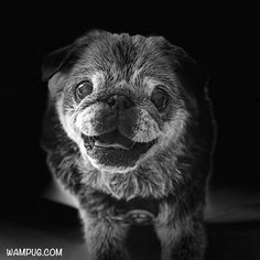 In Honor of a Special Pug: The Chubbs the Wampug Memorial Fund Old Pug, Cute Pugs, Funny Pugs, Pug Pictures, Black Pug, Pug Puppies, Pug Love, Pet Memorials, Cute Baby Animals