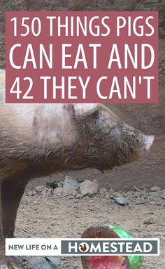 Pig Farming, Backyard Farming, Hog Farm, Hog Pig, Pig Feed, Raising Farm Animals, Pigs Eating, Pot Belly Pigs, Mini Pigs