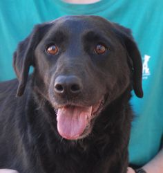 Despite a cruel past, Cindy is ready to give her heart and love to someone who will never fail her.  When she determines you are kind, she gives you hugs and smiles, and her eyes sparkle.  Cindy is a Labrador Retriever, 3 years young, spayed, and debuting for adoption today at Nevada SPCA (www.nevadaspca.org).  She was at another shelter that asked for our help.  We have had Cindy around other dogs and she enjoys their company.  Experienced home needed for her continuing emotional recovery.