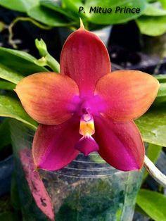 Elsner Orchideen - Phalaenopsis Mituo Prince x sib