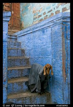 Goat covered with blanket on blue entrance steps, Jodhpur, Rajasthan, India
