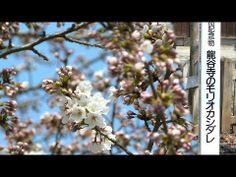 龍谷寺のモリオカシダレ(2014_4_18撮影)