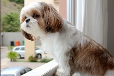 The Shih Tzu was bred as royal lap dog, but they're happy to treat you like royalty, too! Here are a few great names for Shih Tzu dogs if you happen to be bringing home a new friend from the shelter. Chien Shih Tzu, Shih Tzu Hund, Shih Tzu Puppy, Cute Puppies, Cute Dogs, Dogs And Puppies, Doggies, Boxer Puppies, Boxer Mix