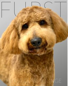 Luxury Spa, Labradoodle, Dog Grooming, Photo Galleries, Lounge, Gallery, Dogs, Animals, Airport Lounge