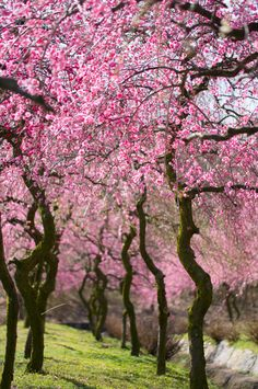 Plum Trees in Inabe, Mie, Japan いなべ市梅林公園