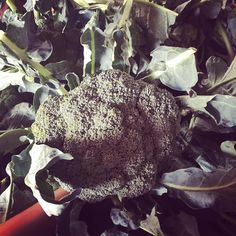 This entire bin of broccoli was picked fresh this morning cleaned up and shipped to 100's of homes throughout Essex county! It's just what we do  #grownrighthere #ontarioproduce #kingsville #leeandmarias #locavore