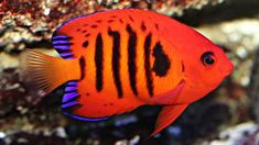 Saltwater fish are beautiful fish. A number of us get into the hobby loving the site of these fish in public aquariums or seeing a friend's aquarium. We have compiled a list of the 10 most beautiful fish for saltwater aquariums. Saltwater Aquarium Fish, Saltwater Tank, Reef Aquarium, Saltwater Angelfish, Marine Aquarium Fish, Underwater Creatures, Ocean Creatures, Beautiful Sea Creatures, Salt Water Fish